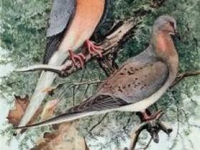 曾经是世界上数量最多的鸟,却被拉入灭绝的深渊